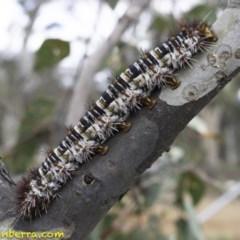 Chelepteryx collesi (White-stemmed Gum Moth) at Hughes Grassy Woodland - 21 Dec 2018 by BIrdsinCanberra