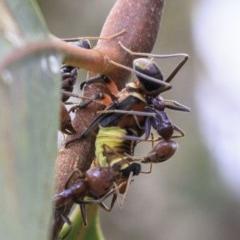 Eurymeloides pulchra (Gumtree hopper) at Hughes Grassy Woodland - 21 Dec 2018 by BIrdsinCanberra