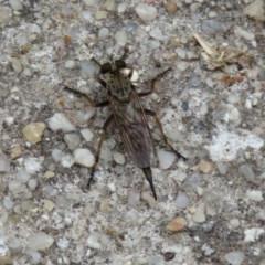 Cerdistus sp. (genus) (Robber fly) at Fadden, ACT - 30 Dec 2018 by RodDeb