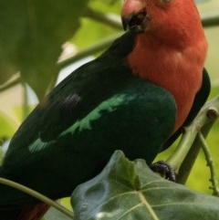 Alisterus scapularis (Australian King-parrot) at FS Private Property - 29 Dec 2018 by Stewart