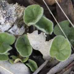 Dichondra sp. Inglewood (J.M.Dalby 86/93) Qld Herbarium (Kidney Weed) at Illilanga & Baroona - 29 Dec 2018 by Illilanga