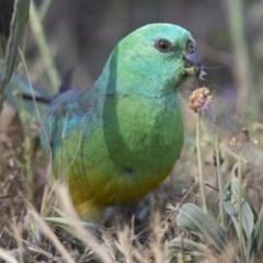 Psephotus haematonotus (Red-rumped Parrot) at Jerrabomberra Wetlands - 18 Oct 2018 by WarrenRowland