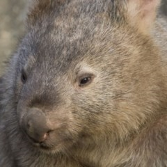 Vombatus ursinus (Wombat) at Stranger Pond - 20 Jun 2018 by WarrenRowland
