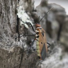Dysdercus sidae (Pale Cotton Stainer) at Illilanga & Baroona - 20 Dec 2018 by Illilanga