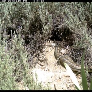 Tiliqua scincoides at Michelago, NSW - 2 Dec 2018