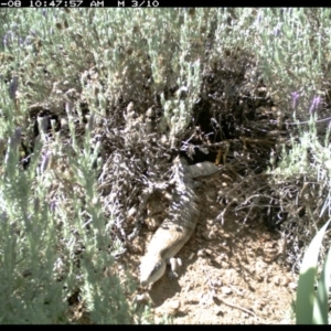 Tiliqua scincoides at Michelago, NSW - 8 Nov 2018