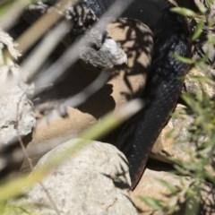 Pseudechis porphyriacus (Red-bellied Black Snake) at Illilanga & Baroona - 19 Nov 2018 by Illilanga
