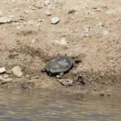 Chelodina longicollis (Eastern Long-neck Turtle) at Michelago, NSW - 28 Oct 2018 by Illilanga
