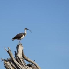 Threskiornis spinicollis (Straw-necked Ibis) at Jerrabomberra Wetlands - 1 Jul 2017 by WarrenRowland