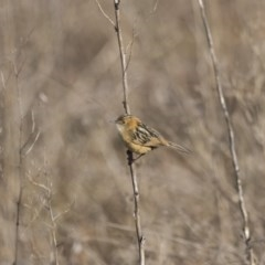 Cisticola exilis (Golden-headed Cisticola) at Jerrabomberra Wetlands - 30 Jun 2017 by WarrenRowland