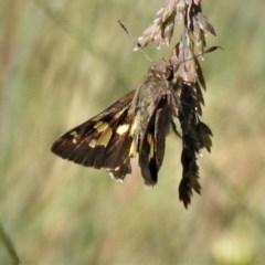 Trapezites phigalioides (Montane Ochre) at Namadgi National Park - 31 Dec 2018 by JohnBundock