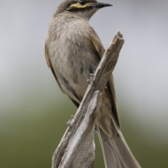 Caligavis chrysops (Yellow-faced Honeyeater) at Illilanga & Baroona - 30 Dec 2018 by Illilanga