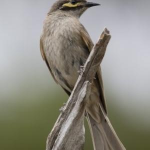 Caligavis chrysops at Michelago, NSW - 30 Dec 2018
