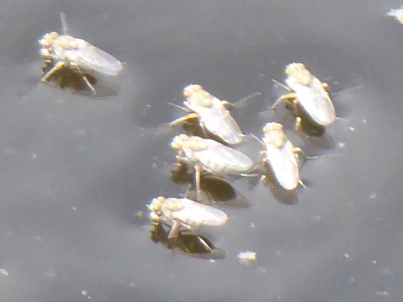 Ephydridae sp. (family) at Jerrabomberra Wetlands - 30 Dec 2018