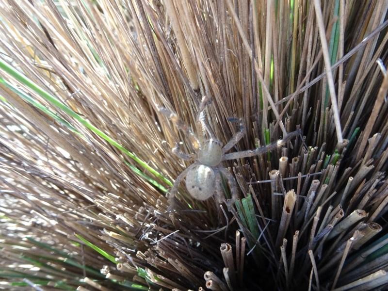 Sparassidae sp. (family) at Sth Tablelands Ecosystem Park - 1 Mar 2018