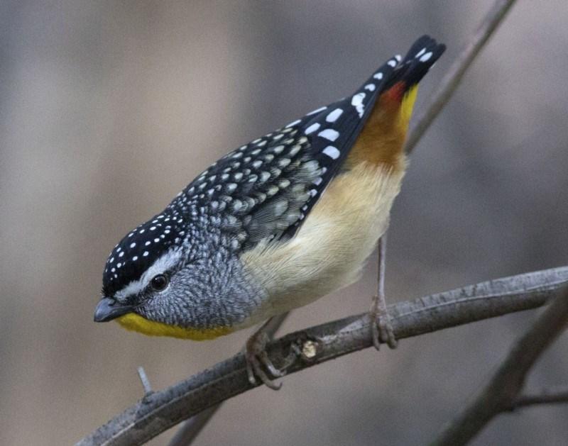 Pardalotus punctatus at Tidbinbilla Nature Reserve - 12 Sep 2018