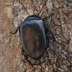 Chalcopteroides spectabilis (Rainbow darkling beetle) at Deakin, ACT - 1 Jan 2019 by JackyF