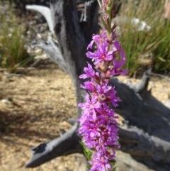 Lythrum salicaria (Purple Loosestrife) at Sth Tablelands Ecosystem Park - 19 Dec 2018 by galah681