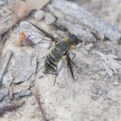 Villa sp. (genus) (Unidentified Villa bee fly) at The Pinnacle - 1 Jan 2019 by Alison Milton