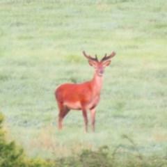 Cervus elaphus (Red Deer) at Booth, ACT - 2 Nov 2016 by OllieOrgill