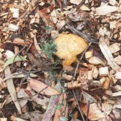 Fuligo septica (Scrambled egg slime mould) at Hughes, ACT - 2 Jan 2019 by ruthkerruish