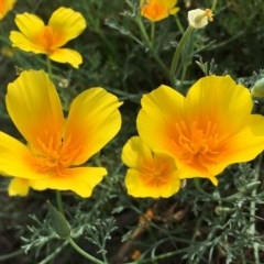 Eschscholzia californica (California Poppy) at Stony Creek - 2 Jan 2019 by RWPurdie