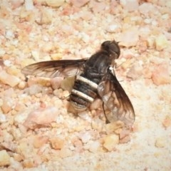 Villa sp. (genus) (Unidentified Villa bee fly) at Namadgi National Park - 3 Jan 2019 by JohnBundock