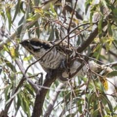 Eudynamys orientalis (Eastern Koel) at Jerrabomberra Wetlands - 3 Jan 2019 by AlisonMilton