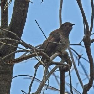 Cacomantis flabelliformis at Jerrabomberra Wetlands - 3 Jan 2019