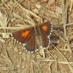 Lucia limbaria (Chequered Copper) at Jerrabomberra Wetlands - 2 Jan 2019 by RodDeb