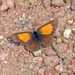 Lucia limbaria at Jerrabomberra Wetlands - 3 Jan 2019