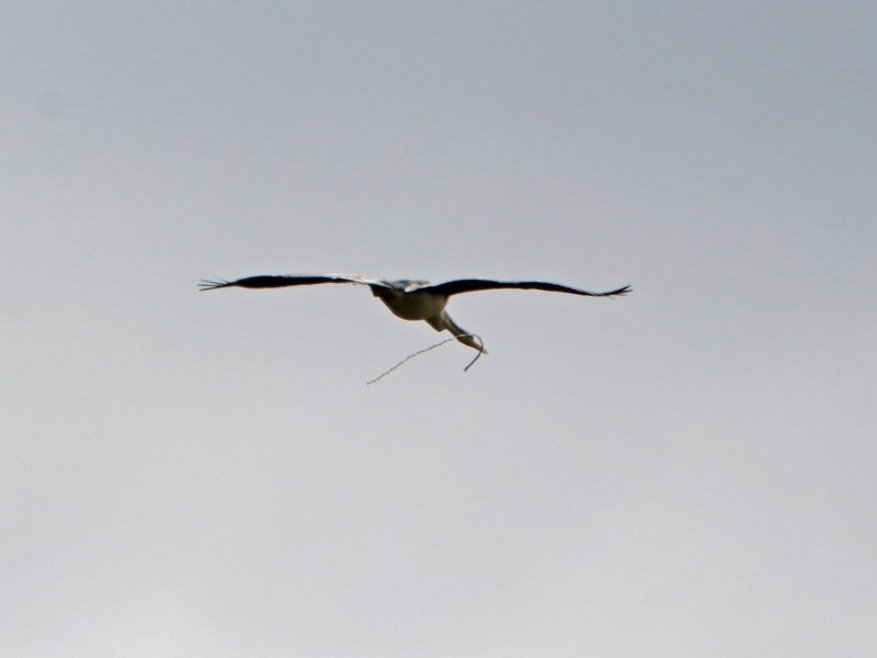 Anhinga novaehollandiae at Jerrabomberra Wetlands - 3 Jan 2019