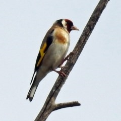 Carduelis carduelis (European Goldfinch) at Jerrabomberra Wetlands - 2 Jan 2019 by RodDeb