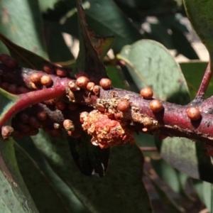 Mataeomera (genus) at Molonglo Valley, ACT - 20 Dec 2018