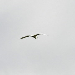 Egretta garzetta (Little Egret) at Fyshwick, ACT - 2 Jan 2019 by RodDeb