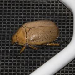 Anoplognathus pallidicollis (Cashew beetle) at Higgins, ACT - 3 Jan 2019 by Alison Milton
