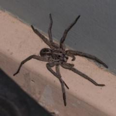Tasmanicosa sp. (genus) (Unidentified Tasmanicosa wolf spider) at Higgins, ACT - 4 Jan 2019 by AlisonMilton