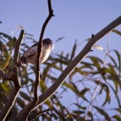 Daphoenositta chrysoptera (Varied Sittella) at Sutton, NSW - 1 Jan 2019 by GlennMcMellon