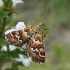 Oenogenes fugalis (A Pyralid moth) at Gibraltar Pines - 9 Dec 2018 by HarveyPerkins