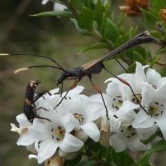 Enchoptera apicalis (Longicorn or Longhorn beetle) at Gibraltar Pines - 9 Dec 2018 by HarveyPerkins