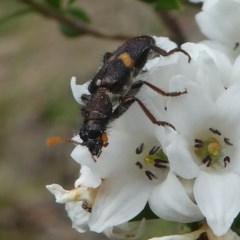 Eleale pulchra (Clerid beetle) at Gibraltar Pines - 9 Dec 2018 by HarveyPerkins