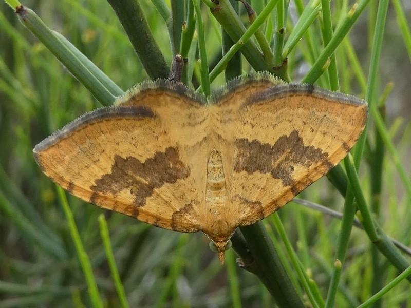 Chrysolarentia correlata at Gibraltar Pines - 9 Dec 2018