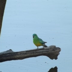 Psephotus haematonotus (Red-rumped Parrot) at Jerrabomberra Wetlands - 4 Jan 2019 by Valerate