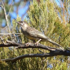 Anthochaera carunculata (Red Wattlebird) at Mount Taylor - 1 Jan 2019 by MatthewFrawley