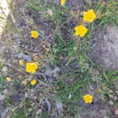 Hypericum gramineum (Small St Johns Wort) at Black Flat at Corrowong - 2 Jan 2019 by BlackFlat