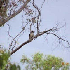Dacelo novaeguineae (Laughing Kookaburra) at Federal Golf Course - 5 Jan 2019 by TomT
