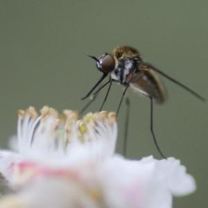 Geron sp. (genus) at Namadgi National Park - 31 Dec 2018