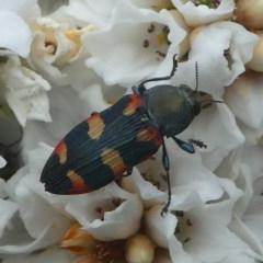 Castiarina sexplagiata (Six-spotted Castiarina jewel beetle) at Gibraltar Pines - 9 Dec 2018 by HarveyPerkins