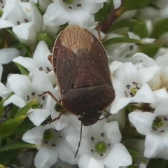 Dictyotus caenosus (Brown Shield Bug) at Gibraltar Pines - 9 Dec 2018 by HarveyPerkins