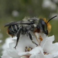 Megachile (Eutricharaea) maculariformis (Leafcutter bee, Megachilid bee) at Gibraltar Pines - 9 Dec 2018 by HarveyPerkins
